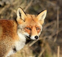 Red Fox - 1814 by DutchLumix