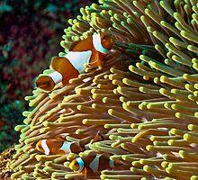 Clown Fish by KOKOPEDAL