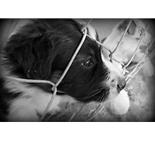 Black and White Border Collie Photographic Print