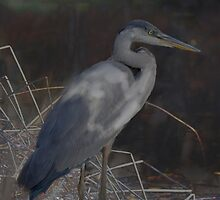 Blue Heron III by Don Wright