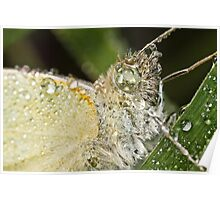 Cabbage White Butterfly (Pieris rapae) Poster