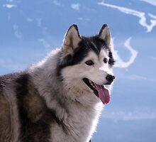 Husky dog by SoulSparrow