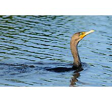 Double-crested Cormorant 2 Photographic Print