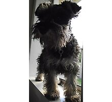"""Bindi - """"how much is that doggie in the window"""" Photographic Print"""