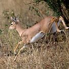Steenbok On The Run by Michael  Moss