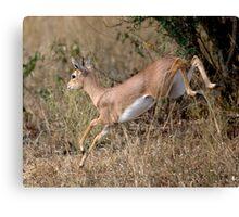 Steenbok On The Run Canvas Print