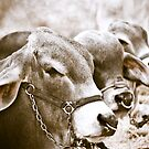 Hunchback Cows by Diego Re