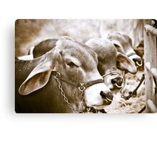 Hunchback Cows Canvas Print