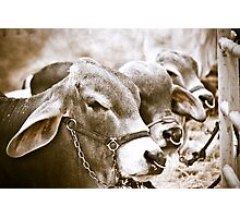 Hunchback Cows Photographic Print