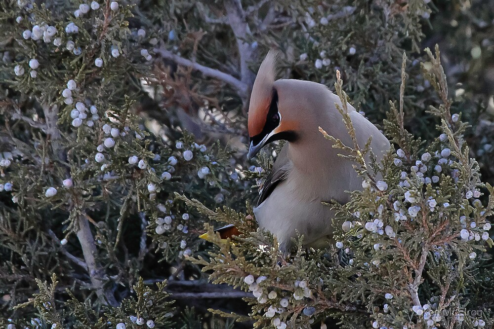 Handsome Waxwing #2 by Ken McElroy