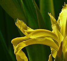 Jap iris art by Linda Sparks