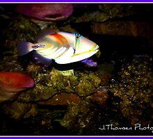Trigger Fish  by jessthomsen84