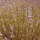 Lavender by michellerena