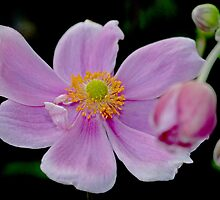 Japanese Anenome - Oriental Delight - No 5 by Kay M Gregan