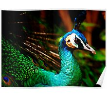 Peacock at Melbourne Zoo... Poster