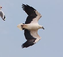 ''Bandits at 10 O'Clock''. White-bellied Sea Eagle & Seagull by bowenite