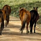Brumbies by Kutay Photography