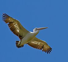 Soaring Pelican by Keith Lightbody