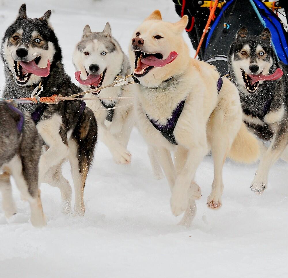 The sled dog blues by Alan Mattison