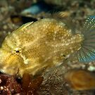 Pygmy Leatherjacket by MattTworkowski