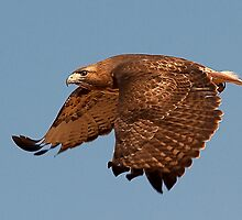 020811 Redtailed Hawk by Marvin Collins