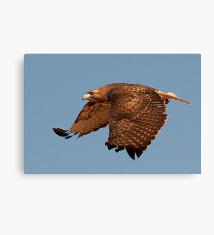 020811 Redtailed Hawk Canvas Print