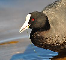 Eurasian Coot (Fulica Atra) by Geoff Beck