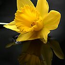 Daffodil head by Doug McRae
