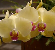 Ivory Orchids by Tracie Skarbo