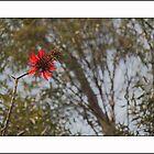 Flower MANDA by HamimCHOWDHURY