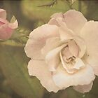 Old Rose by Gail Falcon