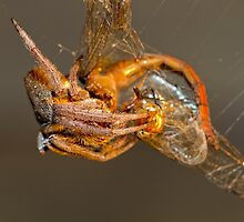 Garden Orb Web Spider - With Dragon Fly.  by Normf