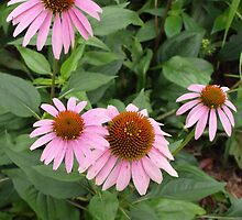 Echinacea purpurea - coneflower by 3Cavaliers