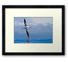 Wandering Albatross - New Zealand Framed Print