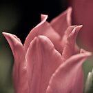 Tulip by pixel-cafe .de