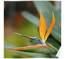 Strelitzia close-up Poster