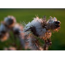 Thistles Photographic Print