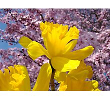 Daffodils Flowers Golden Yellow Pink Tree Blossoms Baslee Troutman Photographic Print