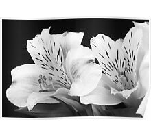 Peruvian Lilies Botanical Black and White Print Poster