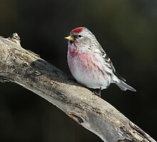 Common Redpoll Male  by Gary Fairhead