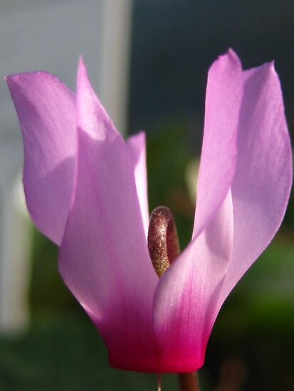 cyclamen  by millymuso