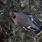 Waxwing Posessed? by Ken McElroy