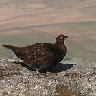 Wharfedale Grouse by Kat Simmons