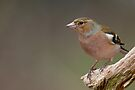 Male Chaffinch by Neil Bygrave (NATURELENS)