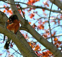 Rustled Robin by LAaustin