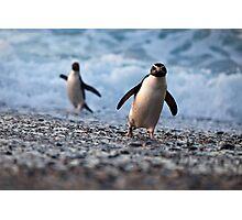 Fiordland Crested Penguin - New Zealand Photographic Print