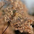 Golden Hydrangeas by bared