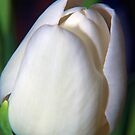 White Tulip by Dean Messenger