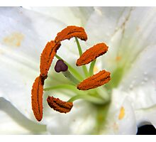 Lily Stamens Photographic Print