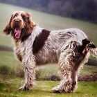 Italian Spinone Ruben by heidiannemorris